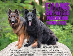 Available Puppies & Upcoming Litters - EVANS SHEPHERDS